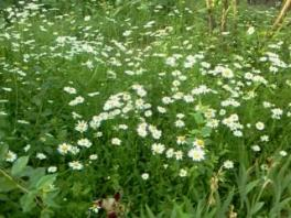Алтай.Ромашковая полянка