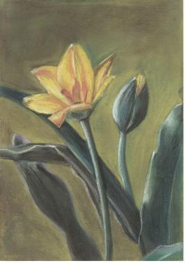 Алтайский горный тюльпан