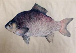 Рыба – лещ.
