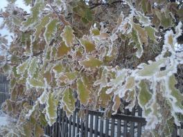 Деревья в зимнем одеянии...